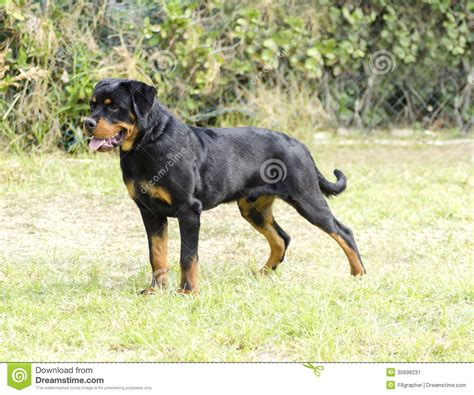 healthy rottweiler rottweiler stock image image of brown guide canine 35698231