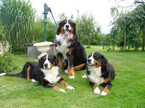 bernese mountain breeders ma bernese mountain dogs