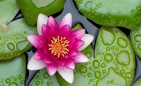 fiore d loto fiore di loto propriet 224 curative