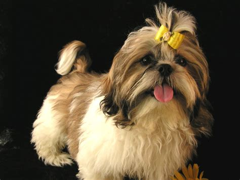 shih tzu with curly hair adult hair cuts