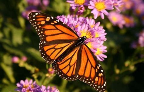 monarch butterfly endangered is monsanto to blame