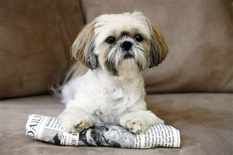 small dogs like shih tzu 20 small breeds that are the cutest creatures on the planet page 2