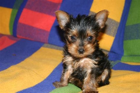 how to care for yorkie puppy how to take care of teacup yorkie puppies ehow uk
