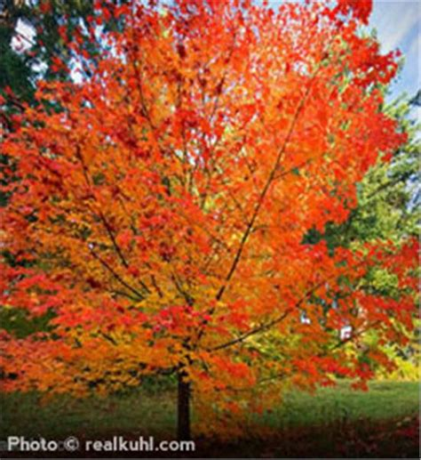 maple tree name in buy an affordable sugar maple tree at our nursery
