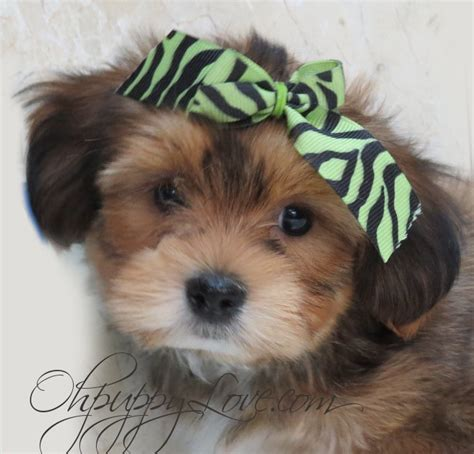 yorkie maltese mix puppies for sale in maryland wwwohpuppylovecom breedsmorkie shorkie maltipoo invitations ideas