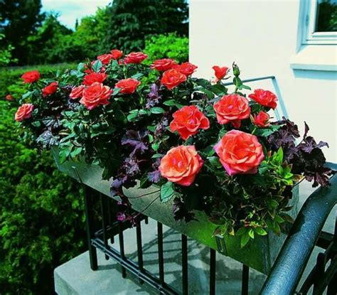 rosa in vaso rosa come curare e coltivare le in vaso e in giardino