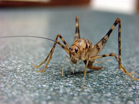 cave crickets invade how to get rid of cave crickets