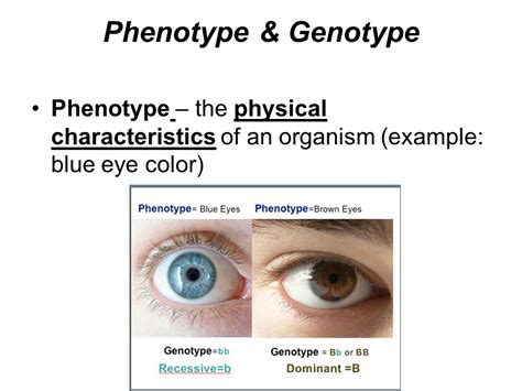 exle of genotype punnet square notes ppt