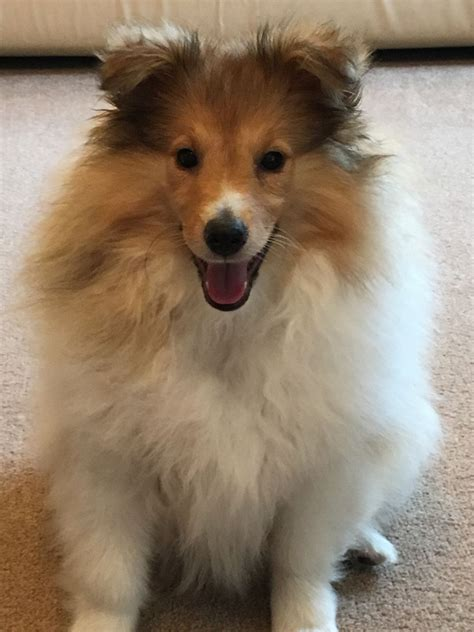 sheltie puppy for sale shetland sheepdog puppy for sale stockport greater manchester pets4homes