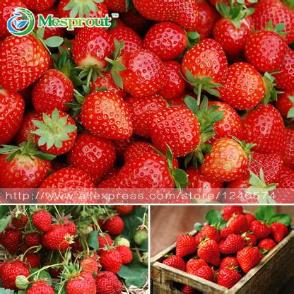 four hardest vegetables to grow from seed buy transplants aliexpress com buy 500pcs strawberry seeds perennial