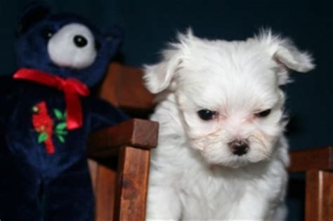 puppies for sale big island maltese puppies text 2024178586 wahiawa for sale big island pets dogs
