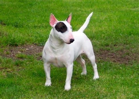 american pitbull pin american pitbull terrier photos on