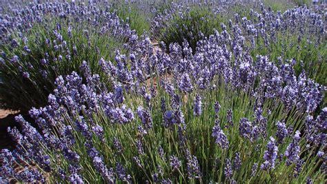 finding arizona arizona lavender summer festival