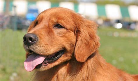 breed similar to golden retriever golden retriever