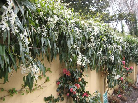 evergreen climbing plant evergreen clematis flowering vines for yearlong color hgtv