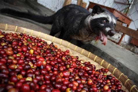 The Most Expensive Coffee in The World is Made From Animal    Amusing Planet