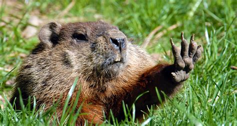 groundhog day will come will come early ask us not the groundhog