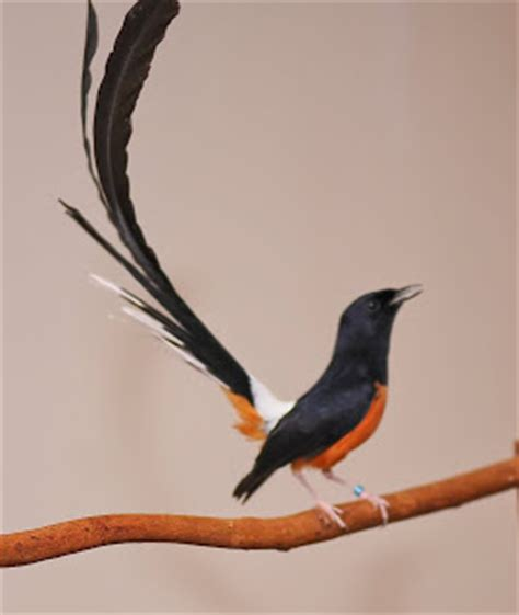 foto burung murai batu gambar aneka burung murai baru dan cara merawat foto lucu terbaru