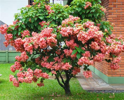 Bibit Tanaman Nusa Indah Putih cara menanam dan merawat bunga nusa indah dengan mudah