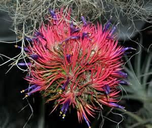 bromeliads in australia tillandsia ionantha