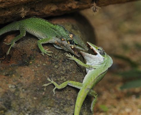 what do backyard lizards eat amazing green anole battle in hawaii science and technology