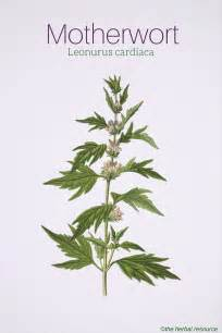 Motherwort benefits uses and side effects