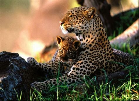 jaguar images hd animal cubs images jaguar with cub hd wallpaper and