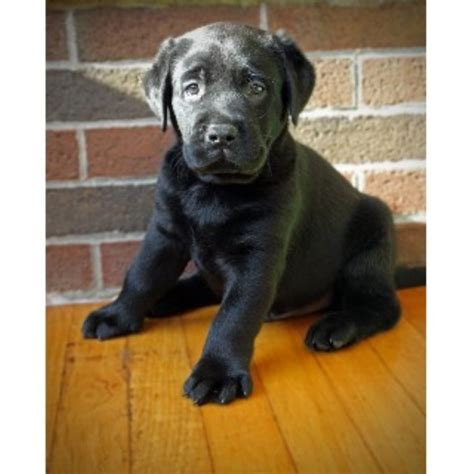 maine lab puppies big thunder kennels labrador retriever breeder in bangor maine