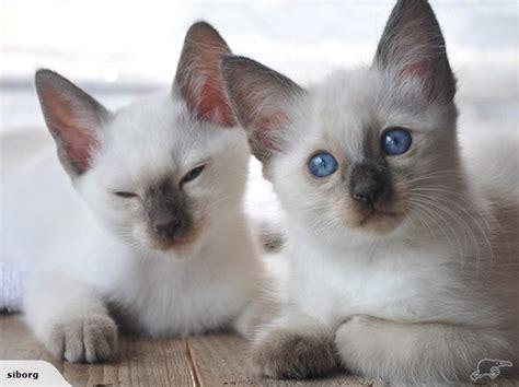 ragdoll siamese siamese ragdoll kittens adorable ragdoll cats