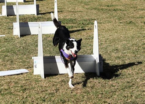how to your for flyball the facts about flyball vetiq