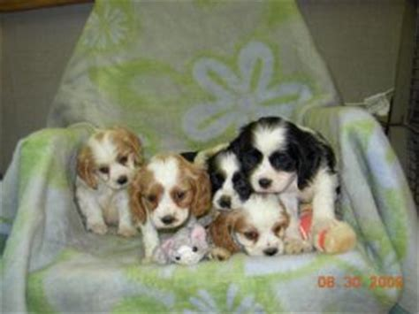 cocker spaniel puppies for sale in tn cavalier king charles spaniel puppies in tennessee