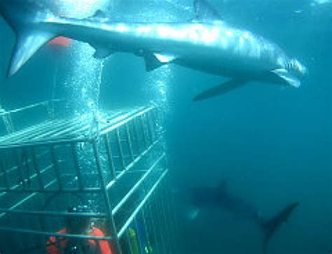 how far is block island from montauk by boat cage diving for sharks off montauk ny daily news