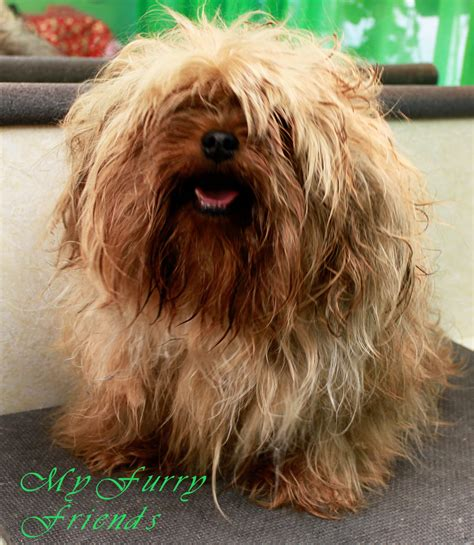 haircuts for yorkies with floppy ears yorkie with floppy ears cuts breeds picture