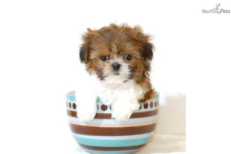 teacup shih tzu puppies for sale in ohio pin teacup shih tzu puppies available now for sale ajilbabcom portal on