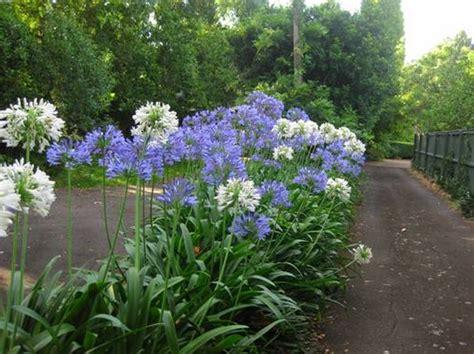 Agapanthus Biru tanaman agapanthus biru blue bibitbunga