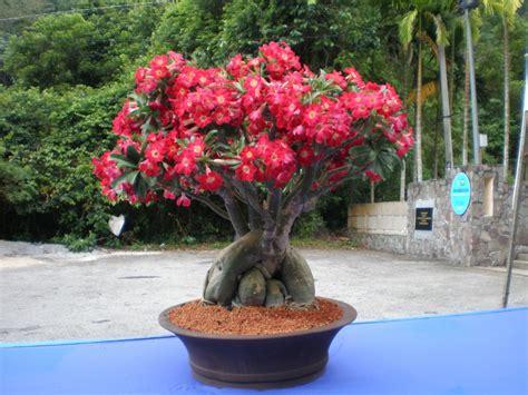 Membuat Bonsai Adenium the easy to care grow adenium plants in garden