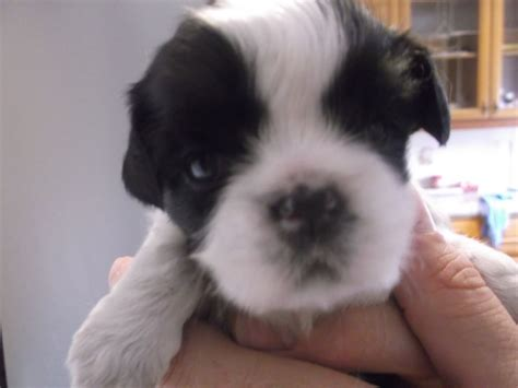 boy shih tzu for sale 1 beautiful boy shih tzu puppy for sale rotherham south pets4homes