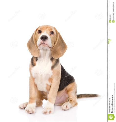 puppy up beagle puppy looking up isolated on white background stock photo image 53999229