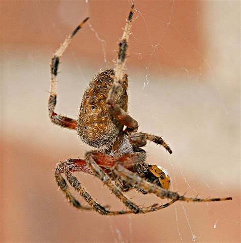 Garden Spider Vs Orb Weaver Orb Weaver Ladybug Flickr Photo