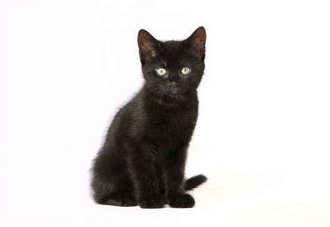how to find a black cat in a room the psychology of intuition influence decision and trust books don t focus on the photos snap up a black cat 171 rspca news