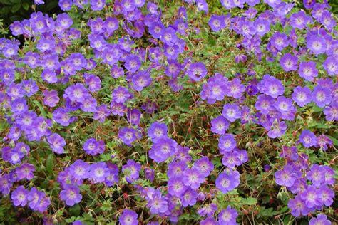 fiori per aiuola perenni fiori da aiuola