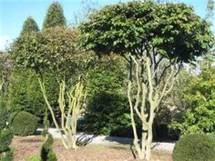 moderne trditionele tuinen zierkirsche quot shirotae quot b 228 ume als sonnenschirme seite 1