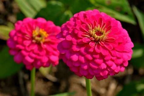 fiori zinnie coltivare la zinnia fiori in giardino consigli per