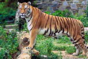 alfa img showing gt animals tigers eat