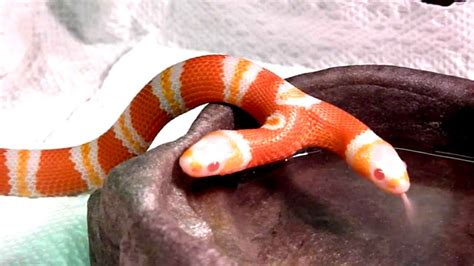 serpenti con due teste serpente a due teste bicefalo l honduran milk snake