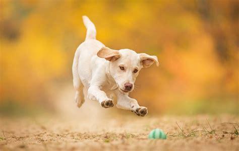 puppy jump hd wallpaper
