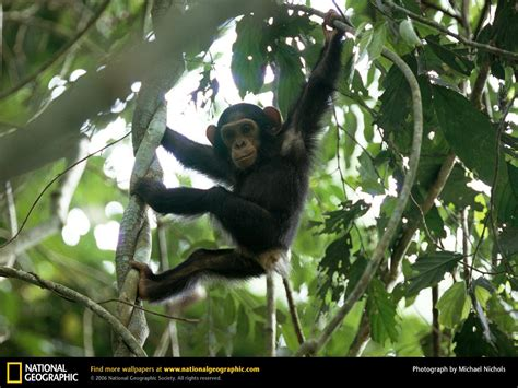 monkey swing chimpanzees and bonobos images baby hangs from tree limb