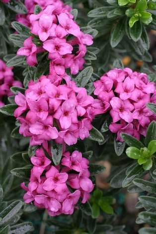 fragrant blooming plants in late winter sfgate