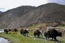 yak growing up in the remote dolpo region of nepal books dolpo nepal nick mayo photography