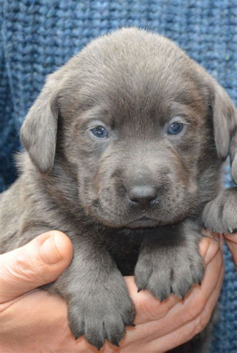 gray lab puppies extremely in uk silver grey labrador puppy pets4homes